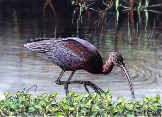 """Glossy Ibis on a Semi-Glossy Pond"" © Peter R. Gerbert"