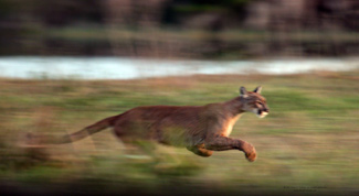 A Florida Panther Encounter by Peter R. Gerbert