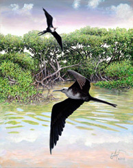 Magnificent Frigatebirds