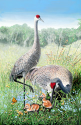 Sandhill Cranes with newborn Chicks