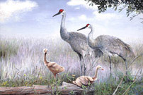 Sandhill Cranes with Chick
